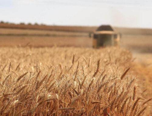 Grano antico: dal grano Creso ai grani antichi siciliani