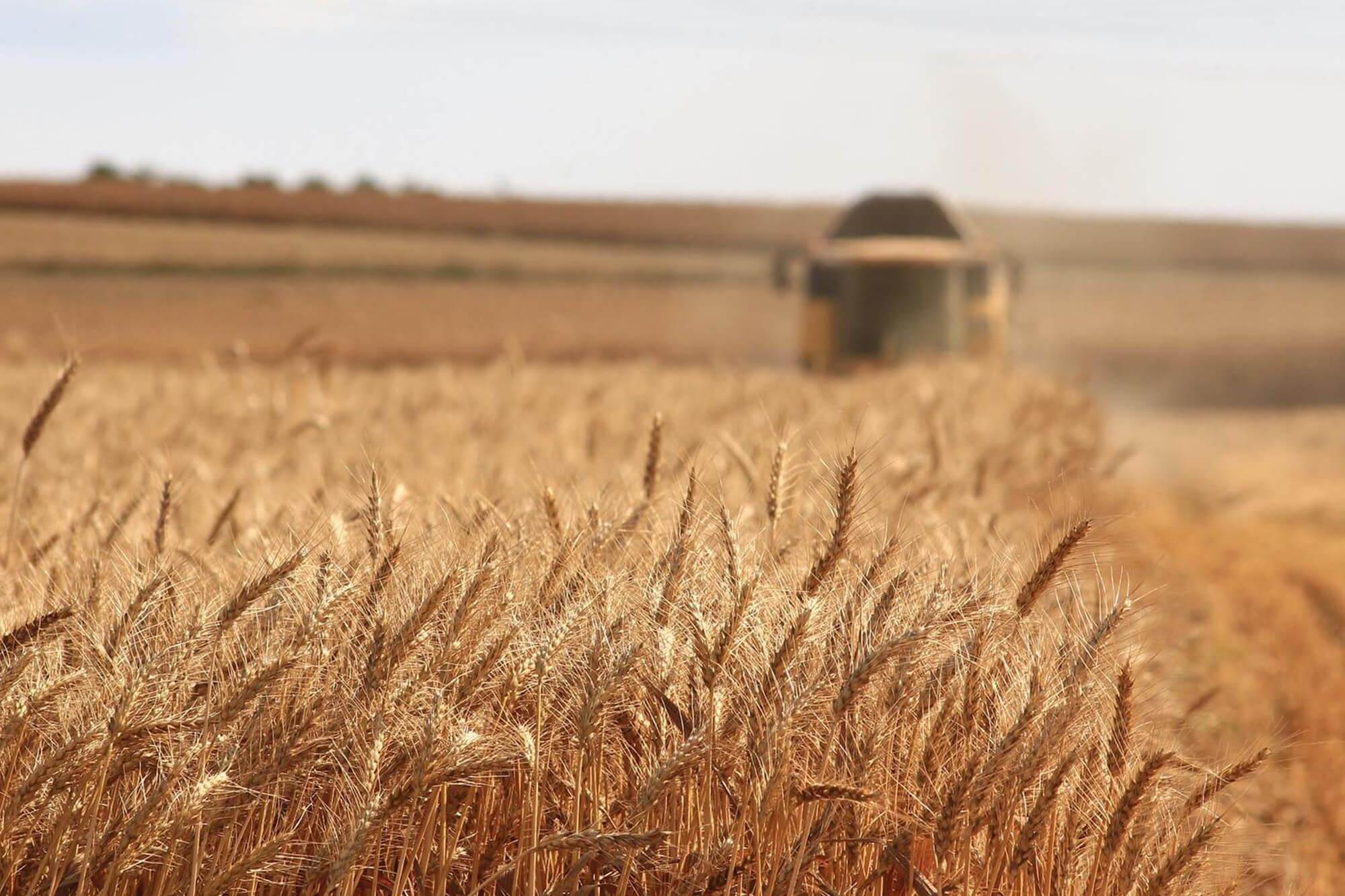 Grano antico grano creso grani antichi siciliani saporelite